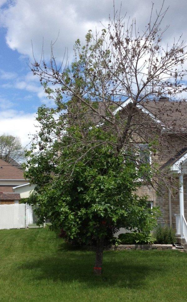 defoliation d'un frêne
